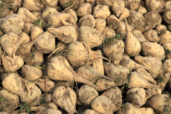 sugar beets fresh harvestet on a