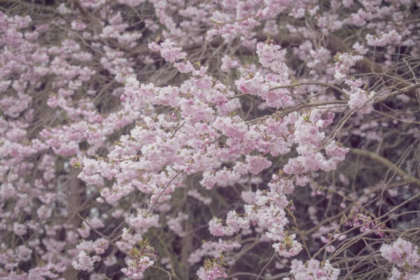 soft pastel pink azalea flowers