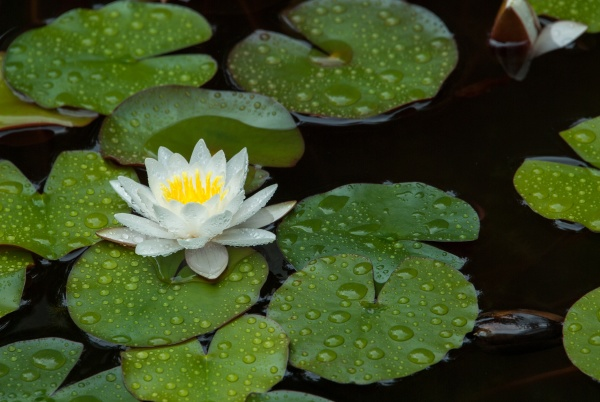 white water lily with raindrops in