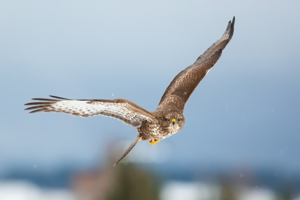 common buzzard flying forward in winter