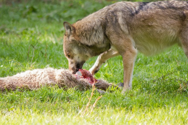 the europeam wolf canis lupus