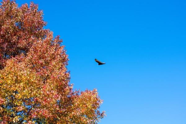 a turkey vulture flying through a