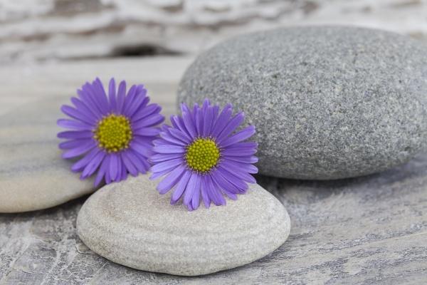 purple daisy flower still life