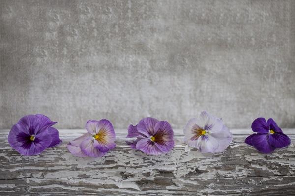 purple pansies in a row