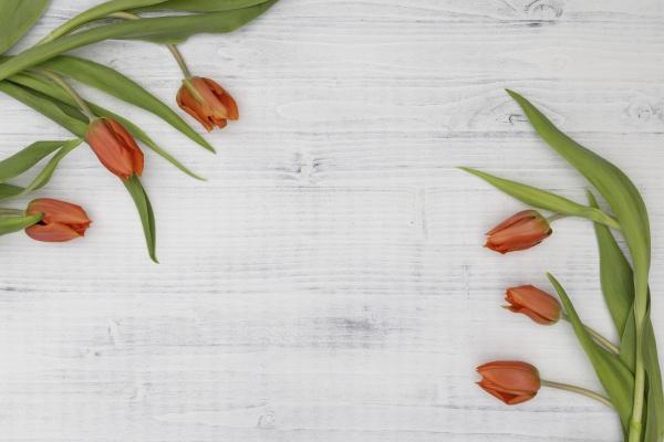 orange tulips on a white background