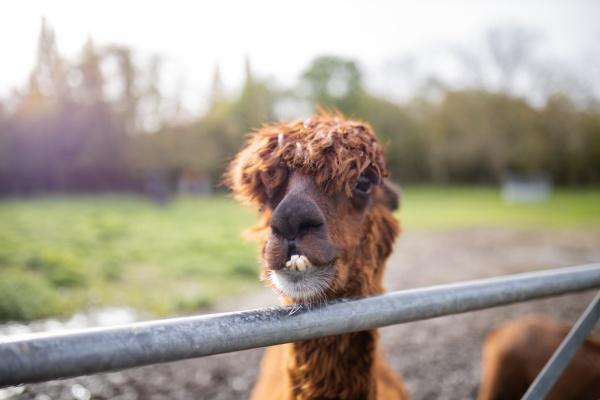 brown alpaca behind a fence looking