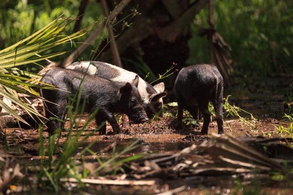 baby wild hog also called feral