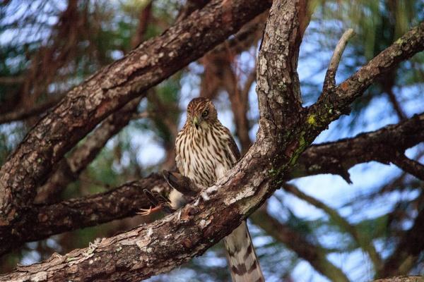 juvenile light morph red tailed hawk