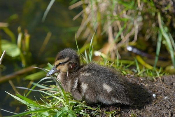 young baby mallard duck with fresh