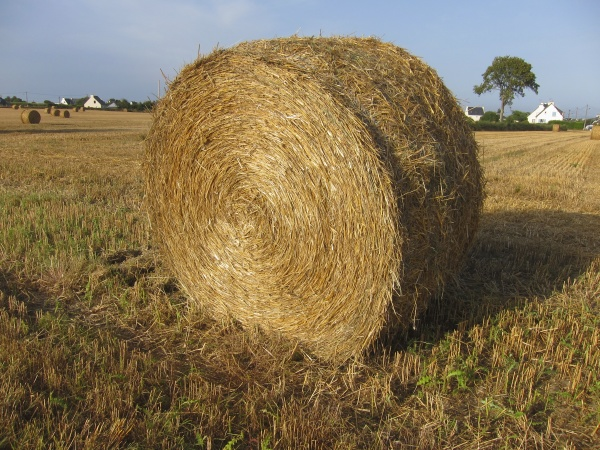 round straw bales in harvested field