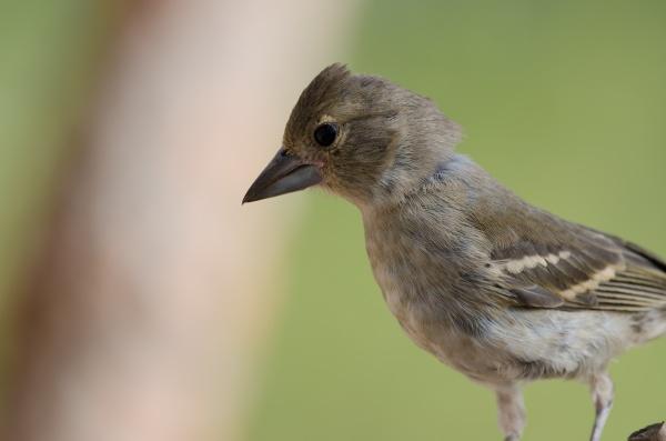young gran canaria blue chaffinch fringilla