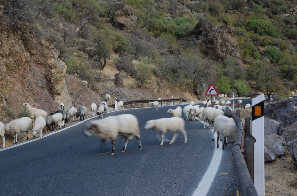 flock of sheep ovis aries on