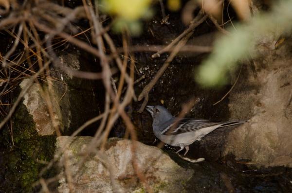 gran canaria blue chaffinch fringilla polatzeki