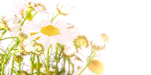chamomile in white sun light selective