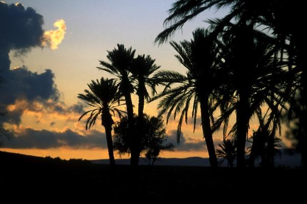 cyprus larnaka palm tree