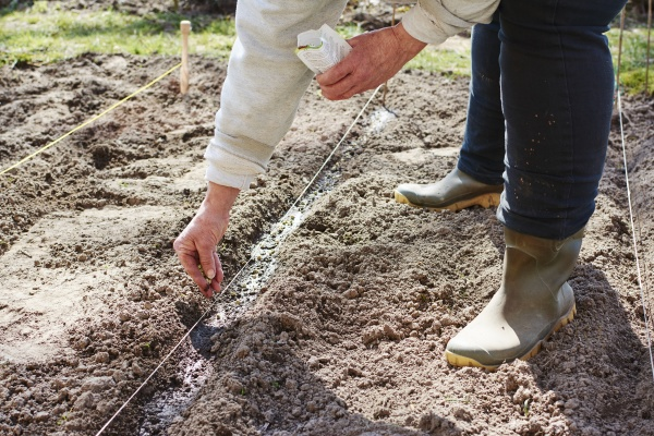 woman sowing garden peas in a