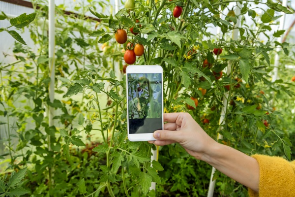 woman hand photographing tomato plant in
