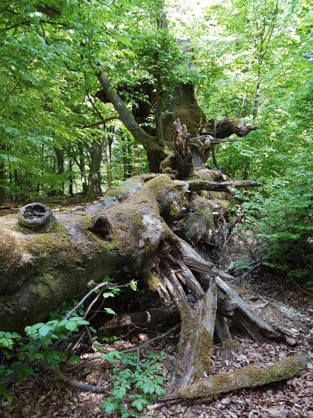 urwald sababurg reinhardswald
