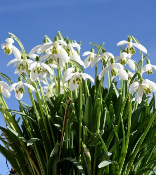 schneegloeckchen galanthus nivalis