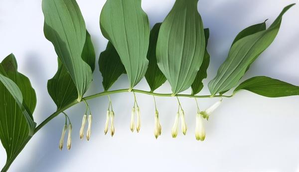 salomonsiegel polygonatum odoratum heilpflanze