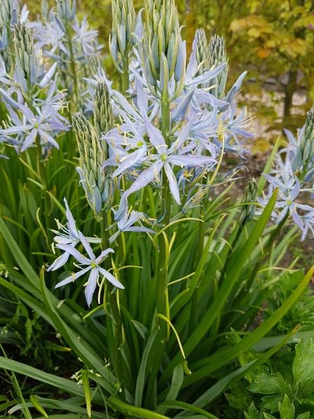 praerielilie camassia leichtlinii blue heaven