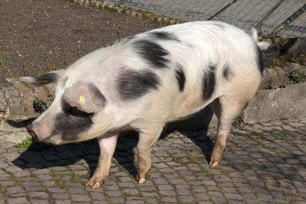 buntes bentheimer schwein sus scrofa domesticus