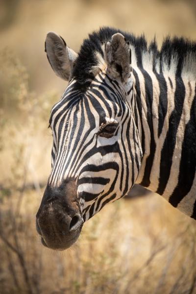 close up of plains zebra head