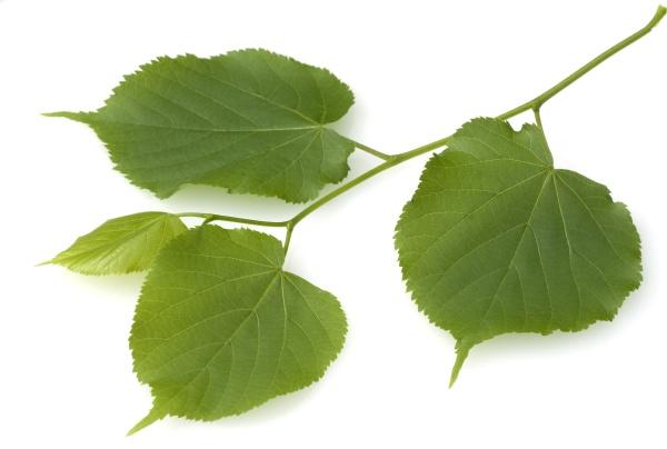 sommerlinde lindenblatt tilia platyphyllos
