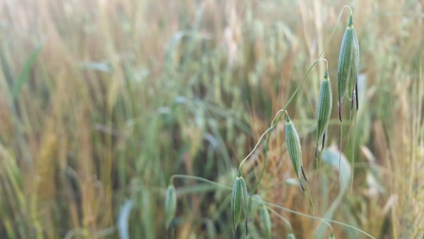 closeup view of barley spikelets or