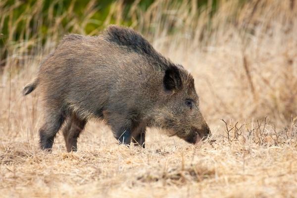 wild boar standing on dry field