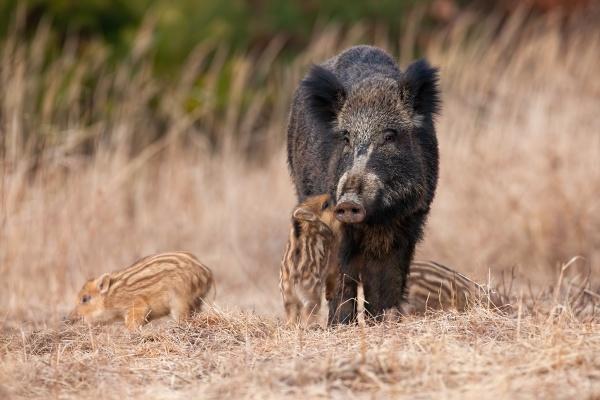 family wild boar standing on meadow