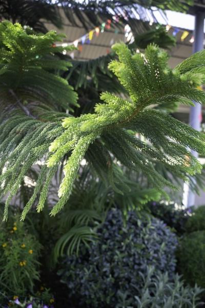 merry christmas evergreen tree background