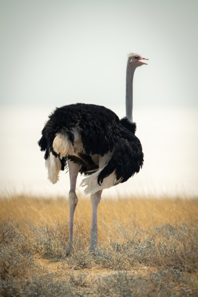 common ostrich stands opening beak on