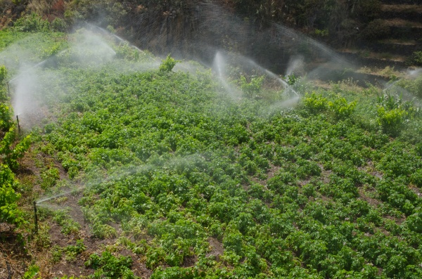 irrigation of a potatoes cultivation in