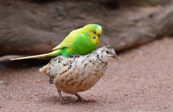 budgie rides quail