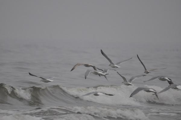seagulls hunting