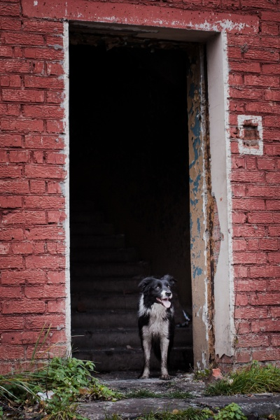 rescue dog border collie at the
