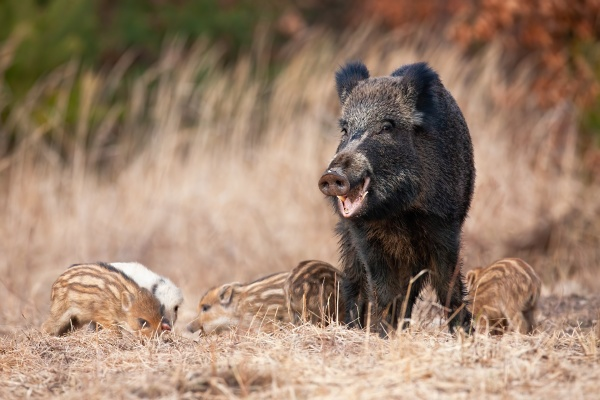 family wild boar grazing on dry