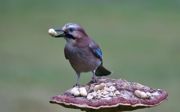 blue jay eats peanuts on a