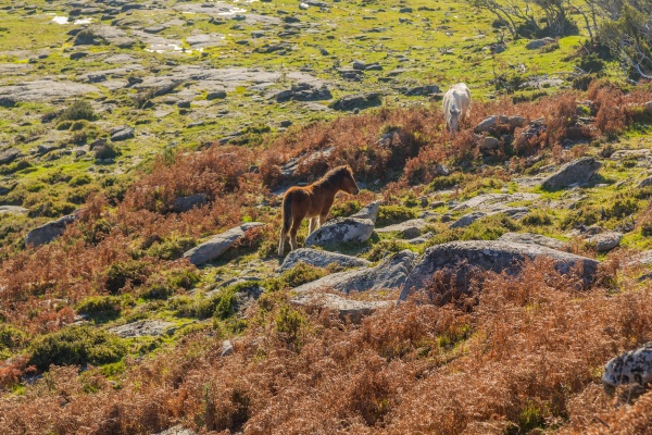 horses pasturing at the mountains