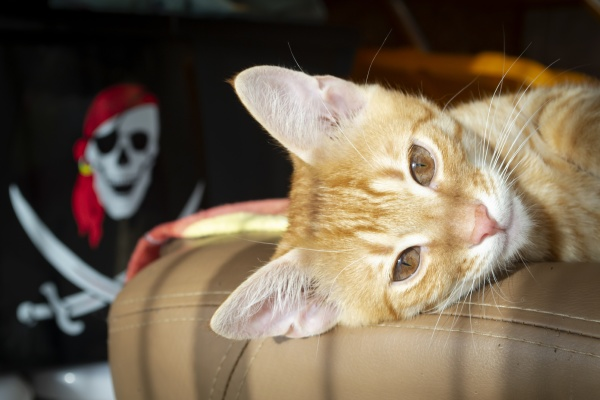 lovely red kitten with pirate image