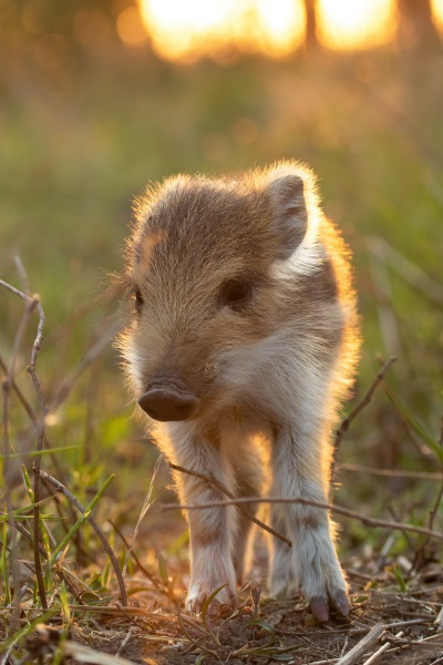 lovely young wild boar piglet standing