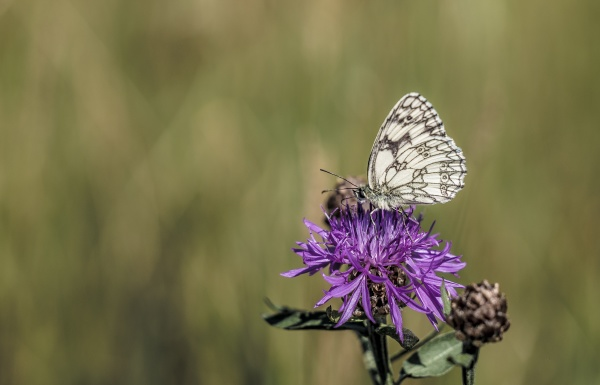 marbled white butterfly on flower with