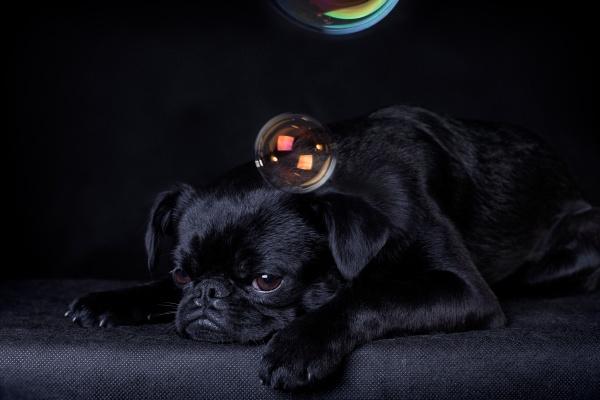 black dog of the breed piti