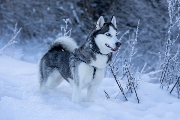a dog breed husky stands in