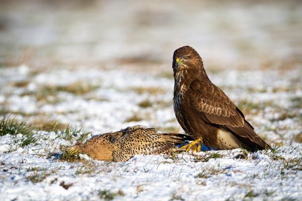 dominant common buzzard sitting on the