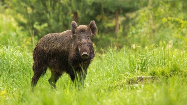 alert wild boar looking into camera