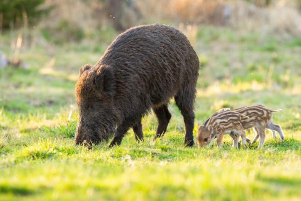 family of wild boar grazing on