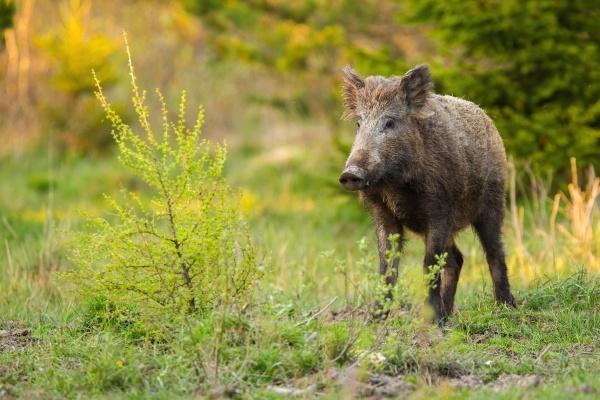 wild boar standing on a meadow