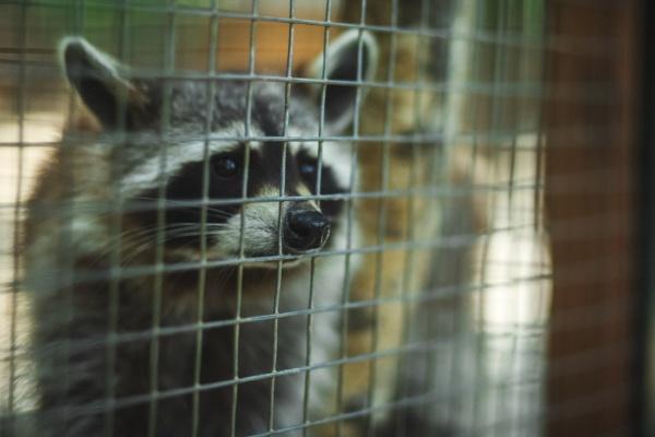 raccoon sticks its nose through the